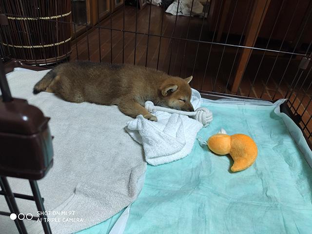 柴犬こまりちゃんの写真