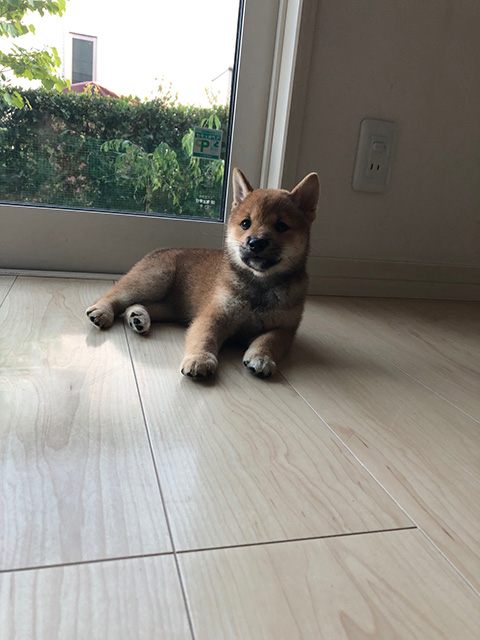 柴犬モモちゃんの写真